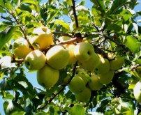 lavoies apples