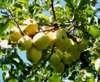 lavoies apples