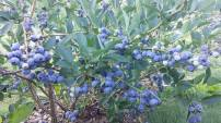 lavoies blueberries