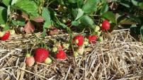 lavoies strawberries